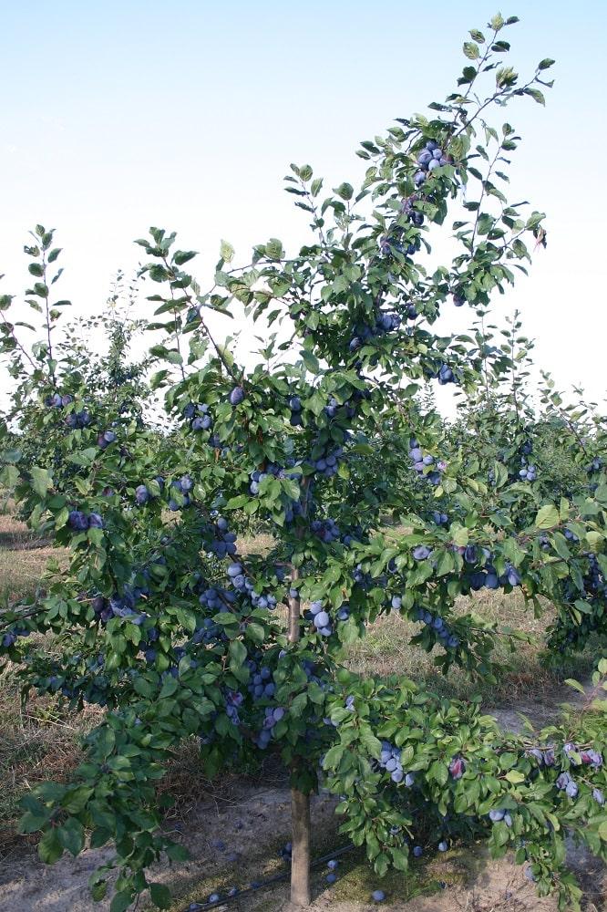 Сливово дърво от сорта Йойо на подложка джанка по време на зреенето на плодовете през 3-та вегетация