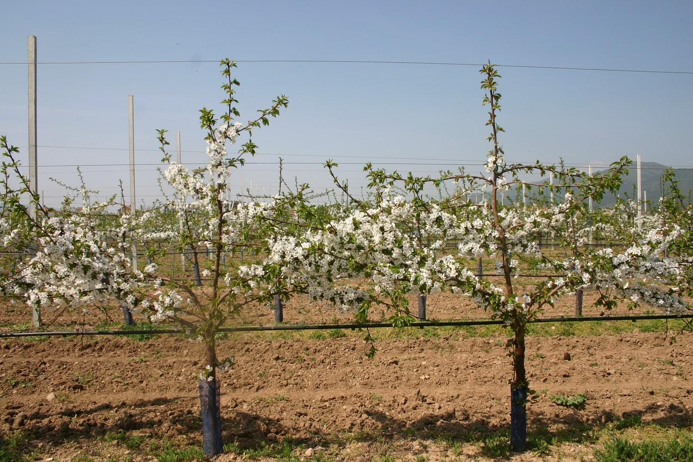 Черешови дървета на подложка Гизела 6 по време на масовия цъфтеж в началото на 3-та вегетация