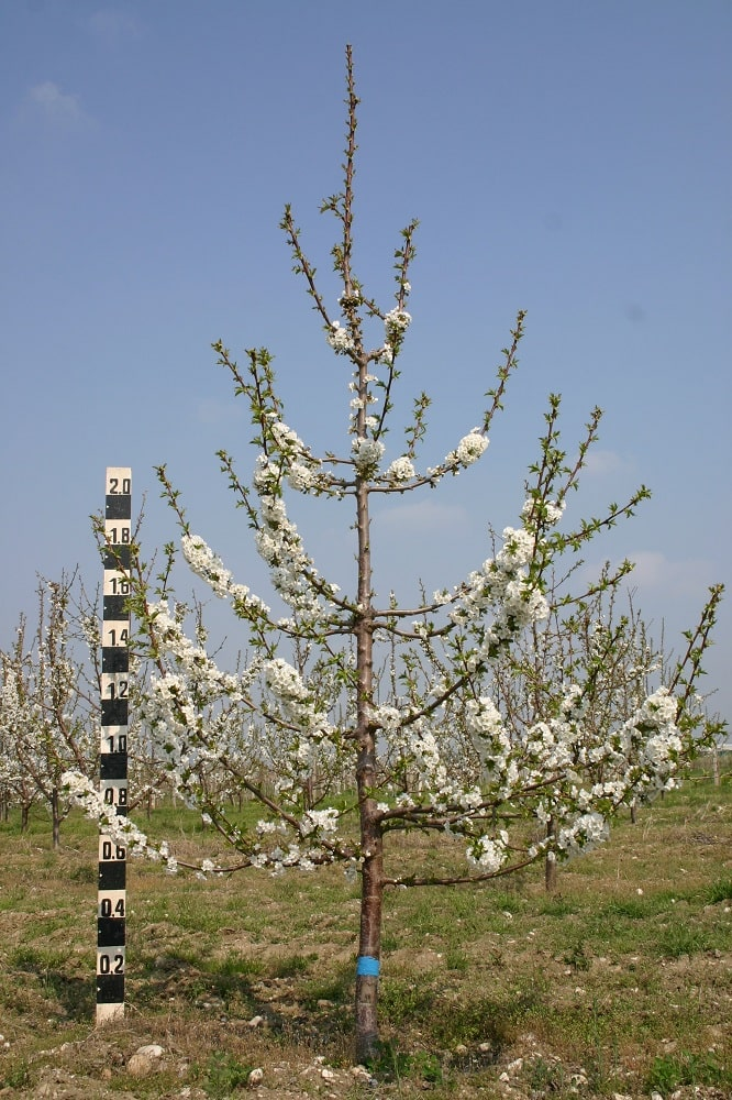Черешово дърво на подложка махалебка ИК-М9, формирано по система вретено, по време на цъфтежа през 4-та вегетация
