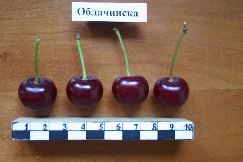 Облачинска – сръбски сорт