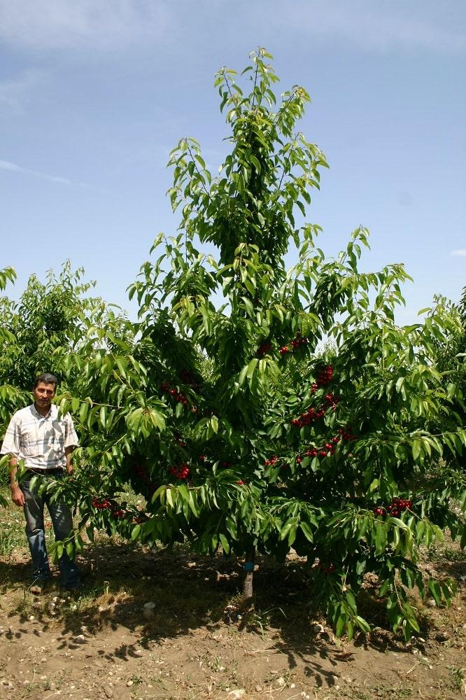 Черешово дърво на подложка махалебка ИК-М9, формирано по система вретено, по време на зреенето на плодовете през 4-та вегетация