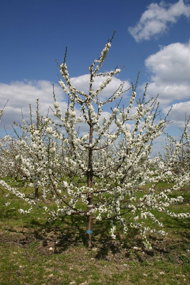 Черешово дърво на подложка махалебка ИК-М9, формирано по система вретено, по време на цъфтежа през 6-та вегетация