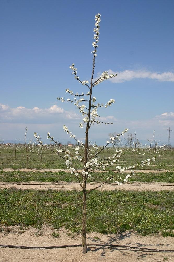 Сливово дърво от сорта Йойо на подложка джанка по време на цъфтежа през 2-та вегетация