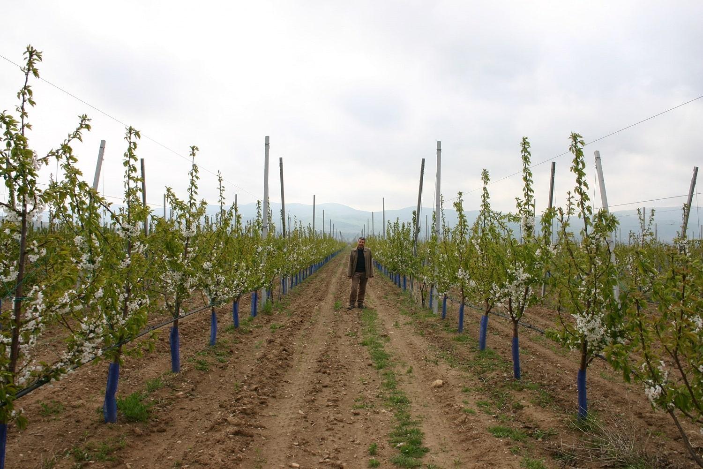 Интензивно черешово насаждение на подложка Гизела 6 в началото на 3-та вегетация