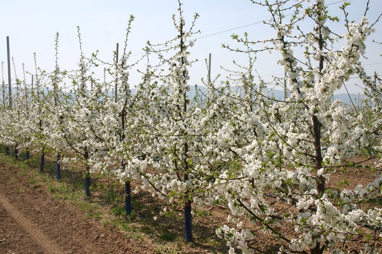 Черешови дървета на подложка Гизела 6 по време на масовия цъфтеж в началото на 4-та вегетация