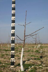 Черешово дърво на подложка махалебка ИК-М9, формирано по система вретено, в края на 1-та вегетация