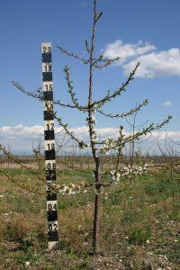 Черешово дърво на подложка махалебка ИК-М9, формирано по система вретено, по време на цъфтежа през 3-та вегетация
